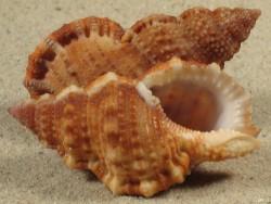 Bursa granularis MZ 5+cm