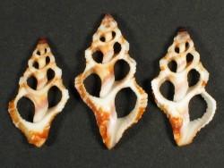 Peristernia castanoleuca Gehäuseschnitt