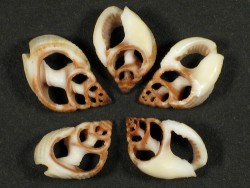Nassarius elegantissimus Gehäuseschnitt (x2)