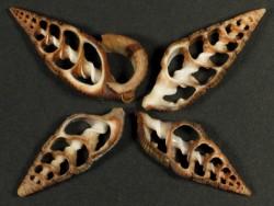 Terebralia sulcata Gehäuseschnitt 2,5+cm