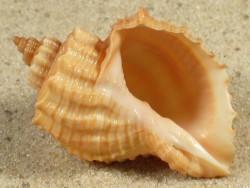 Cancellaria nodulifera JP 3,7+cm