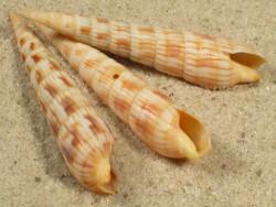 Myurella affinis FR-Pazifik 3,7+cm