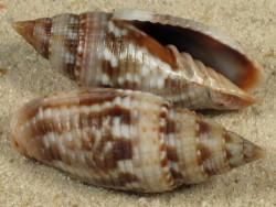 Scabricola desetangsii MZ 3,3+cm