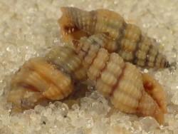 Lienardia nigrotincta PH 0,4+cm