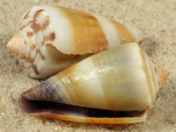 Conus muriculatus sugillatus PH 1,8+cm