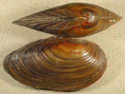 Anodonta cygnea f. zellensis NL 11+cm