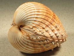 Acanthocardia aculeata FR-Mittelmeer 7,5+cm