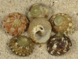 Gibbula varia FR-Mittelmeer 0,8+cm