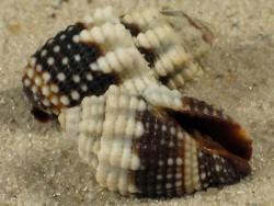 Mitra tuberosa MZ 1,5+cm
