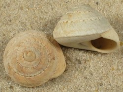 Sphincterochila cariosula ES 1,6+cm