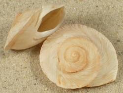 Rossmaessleria sultana MA 2,6+cm