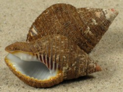 Pollia undosa SB 3,3+cm