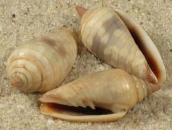 Imbricaria conularis TH 1,5+cm
