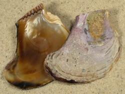 Isognomon alatus US 4,5+cm