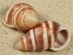 Amphidromus metabletus pachycheilus linksgewunden VN 3,6+cm