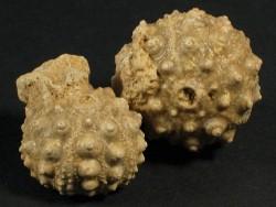 Hemicidaris intermedia - Fossil aus dem Jura FR 2,2+cm