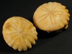 Rotuloidea fimbriata Pliocene MA 3,5+cm