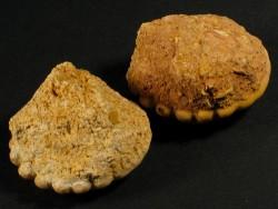 Rotuloidea fimbriata Pliocän MA 3,5+cm