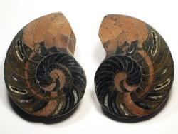 Cymatoceras sakalavus (poliertes Paar) Kreide MG 6,5cm
