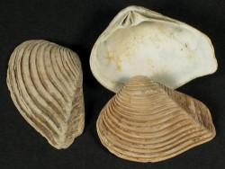 Crassatella sulcata Eozän UK 2,3+cm