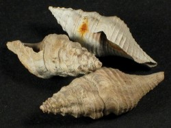 Crenaturricula exorta Eozän UK 1,8+cm