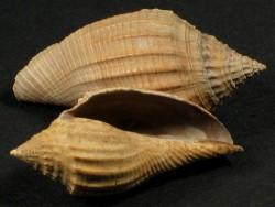 Volutospina ambigua Eozän UK 2,9+cm