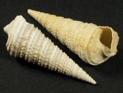 Potamides cordieri Eozän FR 2,4+cm