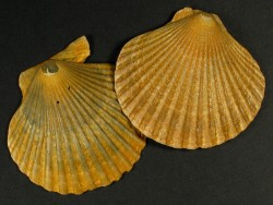 Aequipecten opercularis Pliozän UK 4,5+cm