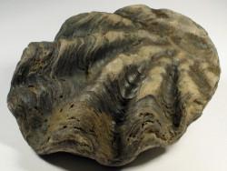 Nicaisolopha nicaisei - Fossil aus der Kreidezeit PE 10,8cm