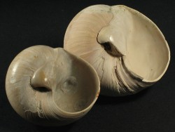 Neverita floridana Pliozän US 5,2+cm