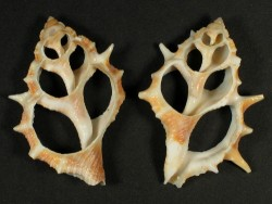 Bufonaria echinata Gehäuseschnitt