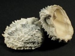Arcinella cornuta - Fossil aus dem Pliozän US 3,6+cm