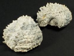 Arcinella cornuta Pliozän US 3,6+cm