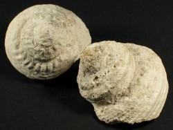 Bolma rugosa - Fossil aus dem Pliozän GR 4+cm