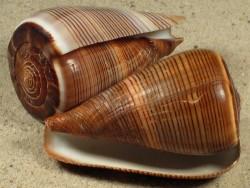 Conus figulinus 6+cm