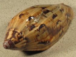 Cymbiola cathcartiae PH 10,2cm *Unikat*