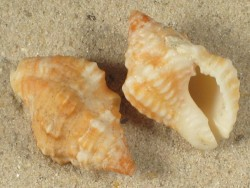 Gemophos auritulus AW 2,6cm
