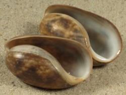 Bulla quoyii AU 3,2+cm