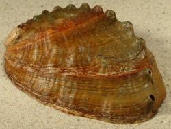 Haliotis discus 12,8cm *Unikat*