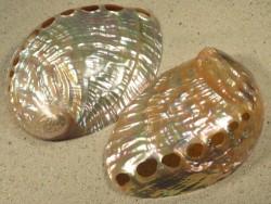 Haliotis discus Perlmutt TH 12+cm