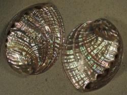 Haliotis gigantea Perlmutt TH 12+cm