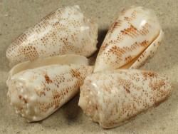 Conus arenatus hell PH 3+cm