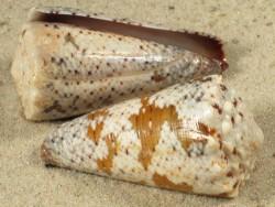 Conus imperialis fuscatus 3,8+cm