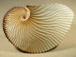 Argonauta argo 20,4cm *Unikat*
