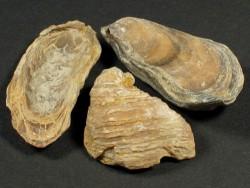 Praeexogyra hebridica Jurassic UK 2,5+cm
