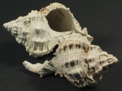 Phyllonotus globosus - Fossil aus dem Pliozän US 4,3+cm