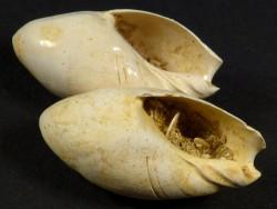 Versteinerung Amalda glandiformis Miozän FR 2,5+cm