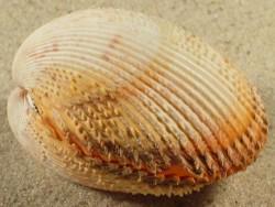 Dallocardia muricata VE 4,8cm *Unikat*