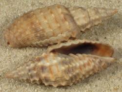 Ziba verrucosa PG 2,4+cm