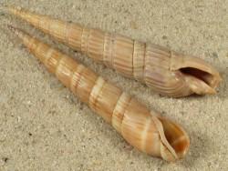 Myurella affinis TW 5,8+cm